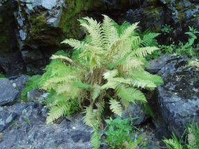Lady Fern in fall color