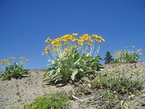 Arrowleaf Balsamroot, abundant in the meadows