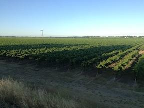 Grape Vines as far as the eye can see, near Clarksburg