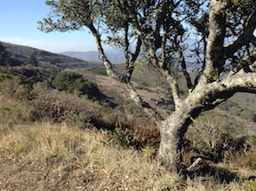 oak along Bobcat Trail