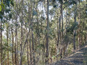 eucalyptus trees in Tilden Park