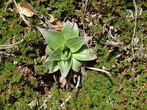 Dudleya among moss