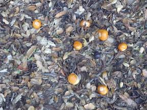 buckeye nuts