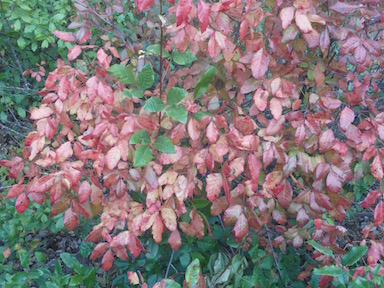 poison oak fall color