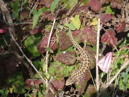 PointReyes_alligator-lizard
