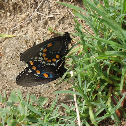 PipevineSwallowtailButterfly_mating